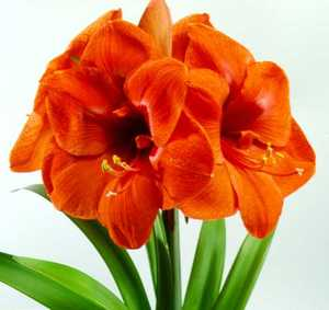 Amaryllis, Large Flowering 'Eos'