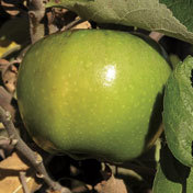 Apple_tree_newton_pippin.full