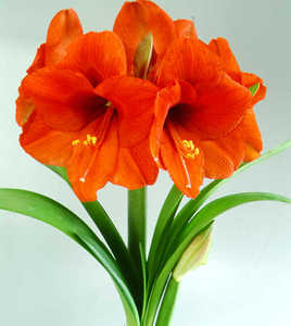 Amaryllis, Large Flowering 'Orange Sovereign'