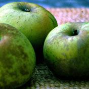 Apple_tree_roxbury_russet.full