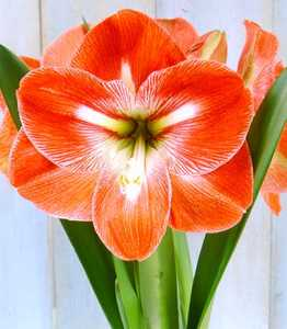 Amaryllis, Large Flowering 'Happy Memory'