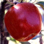 Apple_tree_spitzenburg_semidwarf.full