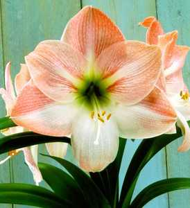 Amaryllis, Large Flowering 'Angelique'