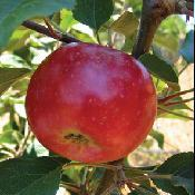 Apple_tree_victoria_limbertwig.full