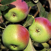 Apple_tree_white_pearmain.thumb