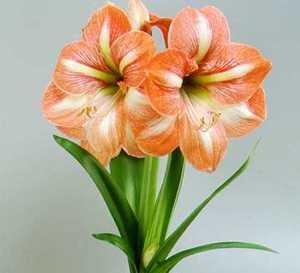 Amaryllis, Large Flowering 'Flower Record'