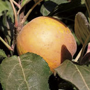 Apple_tree_hudsons_golden_gem.full