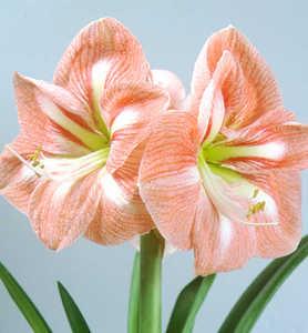 Amaryllis, Large Flowering 'Flair'