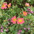Moss_rose_and_purple_penta.small