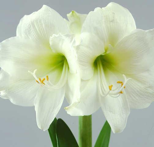Amaryllis_hippeastrum_mont_blanc-1.full