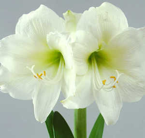 Amaryllis, Large Flowering 'Mont Blanc'