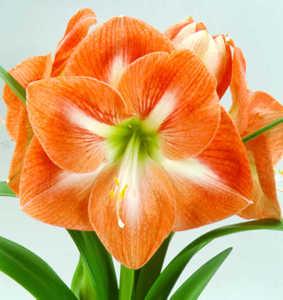 Amaryllis, Large Flowering 'Piquant'