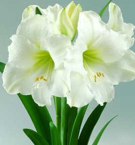 Amaryllis, Large Flowering 'Ludwig Dazzler'