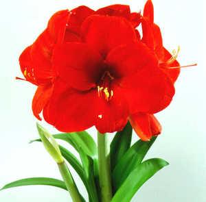 Amaryllis, Large Flowering 'Roma'