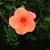 Hibiscus.small