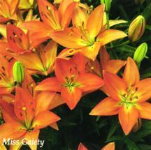 Lilies_lilium_miss_gaiety-1.full