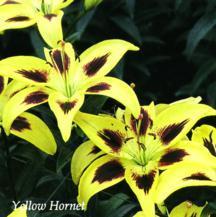 Lilies_lilium_yellow_hornet-1.full