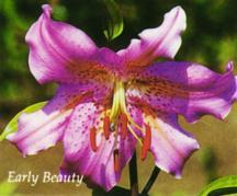 Lilies_lilium_early_beauty-1.full