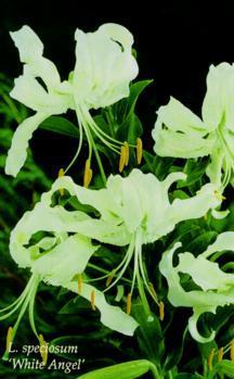 Lilies_lilium_speciosum_album_white_angel-1.full