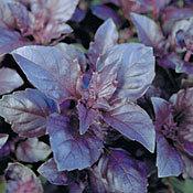 Basil_opal_purple_variegated.full