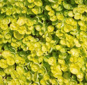Marjoram, Gold Leaf