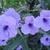 Purple_shower_june_09.small