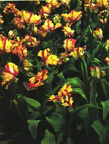 Tulip, Parrot 'Bird of Paradise'