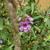 Purple_salvia_annual.small