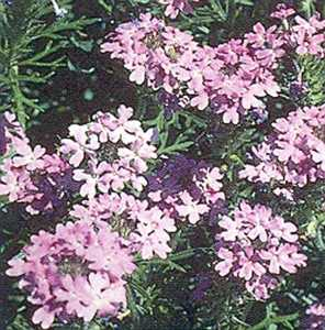 Moss Verbena