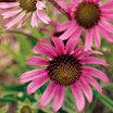Echinacea_tennessee_coneflower.thumb