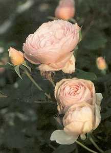 Rose, 'Heritage'