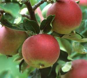Apple Tree, Compspur 'Arkblack'