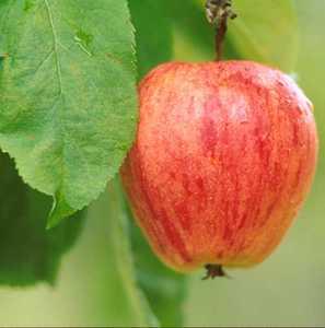 Apple Tree, Semi-dwarf 'Chenango Strawberry'
