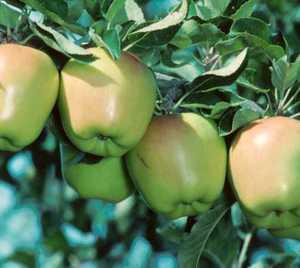 Apple Tree, Semi-dwarf 'Criterion'