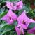 Purple_bouganvilla.small