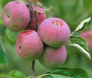 Apple Tree, Semi-dwarf 'Early Cortland'