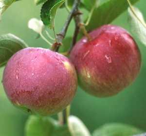 Apple Tree, Semi-dwarf 'Empire'