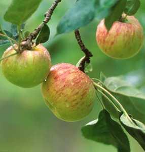 Apple Tree, Semi-dwarf 'Gravenstein'
