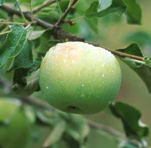 Apple Tree, Semi-dwarf 'Pound Sweet'