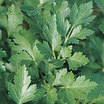 Parsley_italian_flat_leaf.thumb