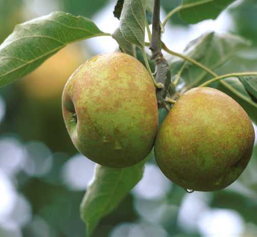 Apples_malus_pumila_roxbury_russet-1.full