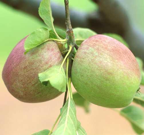 Apples_malus_pumila_sheepnose-1.full