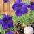 Purple_petunia_june_09.small