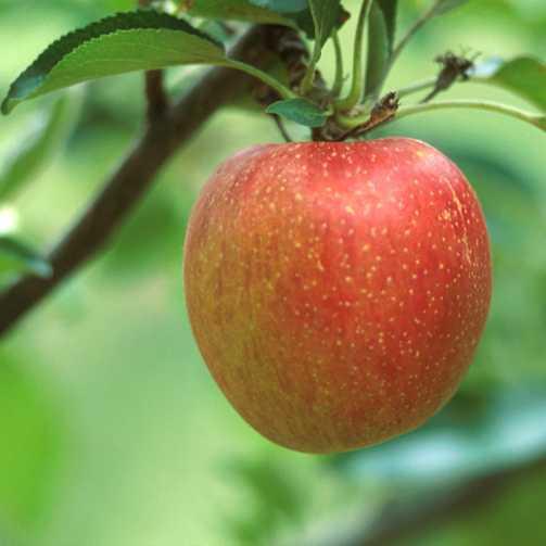 Apples_malus_pumila_spitzenburg-1.full