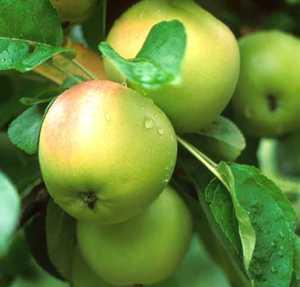 Apple Tree, Compspur 'Winter Banana'