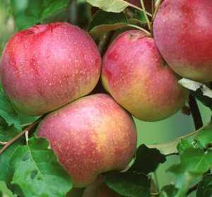 Apple Tree, Semi-dwarf 'Wolf River'