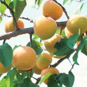 Apricot Tree, Chinese Super Hardy Dwarf