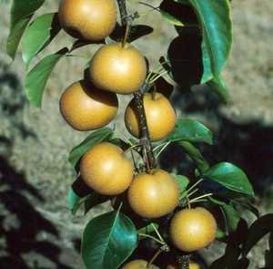 Pear Tree, Chojuro Asian Dwarf