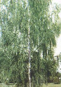 Birch Tree, Cut Leaf Weeping
