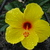 Yellow_hibiscus.small